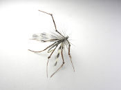 Crane fly, crane fly dry, crane fly adult,